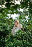 Monkey on tree top Royalty Free Stock Photography
