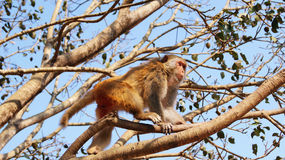 Monkey  on tree Stock Photography