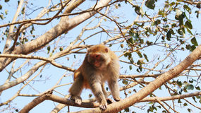 Monkey  on tree Royalty Free Stock Image