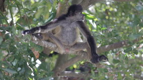 Monkey on a tree in the wild stock footage