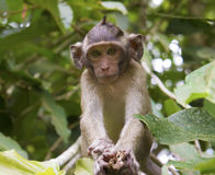 Monkey on the tree. Young monkey on the tree Stock Photography
