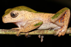 A Monkey Treefrog in the Amazon Stock Photo
