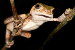 Monkey Treefrog relaxing in the Amazon Stock Image
