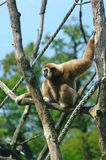 Monkey in trees Stock Image