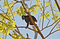 Monkey in the trees. Curious monkey sitting on a branch in thailand jungle Stock Image