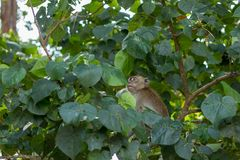 Monkey in natural habitat. Monkey on the Trees, monkey in natural habitat, rain forest and jungle royalty free stock photo