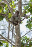 Monkey in natural habitat. Monkey on the Trees, monkey in natural habitat, rain forest and jungle royalty free stock images