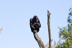 Monkey on a trees over blue sky Stock Photography