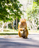 Monkey in  tropical fauna on Ceylon, young macaque Stock Photo