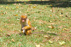 Monkey in tropical fauna on Ceylon, young macaque Royalty Free Stock Photography