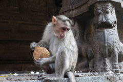 Monkey. True owners in a kingdom of monkeys, in Hampi - beggars having a tail Royalty Free Stock Photos