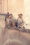 Monkey trying to drink some water. Two monkeys in the wall of an indian temple trying to drink some water from a tap Stock Photos
