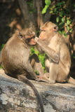 Monkey. Two monkeys care for each other Royalty Free Stock Image