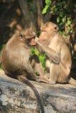 Monkey. Royalty Free Stock Image