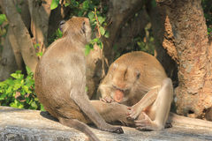 Monkey. Royalty Free Stock Photo