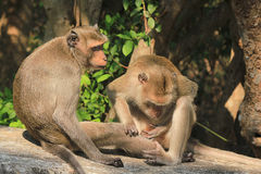 Monkey. Two monkeys care for each other Royalty Free Stock Photo