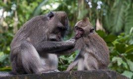 Monkey in ubud Royalty Free Stock Images