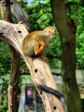 Monkey in the UK zoo Royalty Free Stock Photography