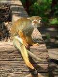 Monkey in the UK zoo Royalty Free Stock Image
