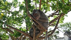 Monkey Uluwatu slow motion. Monkey sitting on a tree. Shot taken with a handheld gimbal in slow motion stock footage