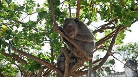 Monkey Uluwatu slow motion stock footage