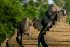 Monkey in Uluwatu royalty free stock photo