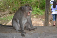 Monkey at Uluwatu Temple - Bali Island, Indonesia Royalty Free Stock Photos