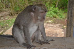 Monkey at Uluwatu Temple - Bali Island, Indonesia Royalty Free Stock Image