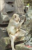 Monkey in Uluwatu Temple, Bali Island Royalty Free Stock Image