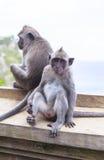 Monkey in Uluwatu Temple, Bali Island Stock Photo