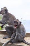 Monkey in Uluwatu Temple, Bali Island Royalty Free Stock Photo