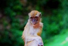 Monkey. Unadorable smart eyes royalty free stock photo