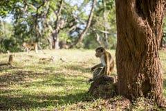 Monkey under the tree Royalty Free Stock Photo