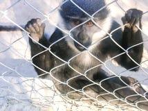 Monkey. Unhappy sad monkey in zoo Royalty Free Stock Image