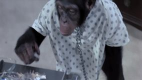 Monkey unlocking himself from chain in hospital stock video footage
