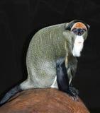 Monkey van DE Brazza's Stock Foto