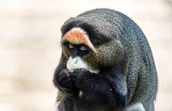 Monkey van DE Brazza's, een aantrekkelijke primaat met distinctief bont royalty-vrije stock foto's