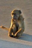monkey vervet Στοκ Εικόνα