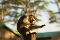 Monkey Vervet Stock Photo