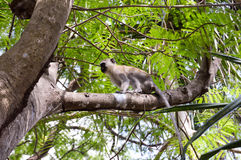 Monkey vervet on a branch in the town Royalty Free Stock Photos