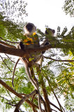 Monkey vervet and her cub Royalty Free Stock Images