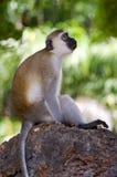 Monkey vervet posed on a rock Stock Photos