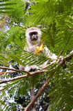 Monkey vervet on a tree eating a mango Royalty Free Stock Images