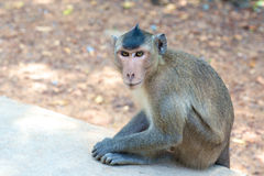 Monkey in Vietnam Royalty Free Stock Images