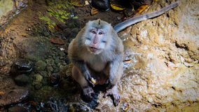 Monkey a vista no olho dos observadores Fotografia de Stock