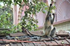 Monkey. Voici des singe Indien du west bengal Stock Image