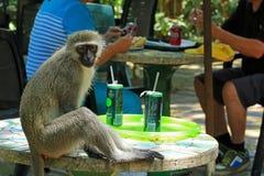 Monkey voler la nourriture des personnes, Durban, Afrique du Sud Photos stock