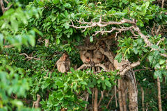 Monkey waiting for and looking  chance to stolen food in an island of andaman sea ,thailand. Lipe . Stock Photos