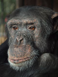 Monkey in waiting for some food. Chimpanzee in dutch zoo amerfoort Stock Photography