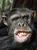Monkey in waiting for some food. Chimpanzee in dutch zoo amerfoort Royalty Free Stock Images